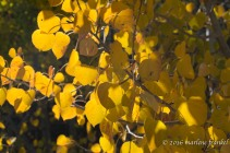 Backlit Aspen Leaves
